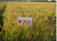 600316農發種業襄麥55