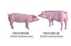 000735羅牛山種豬1
