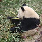没有吃不掉的竹子