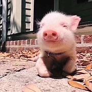 晒太阳的猪